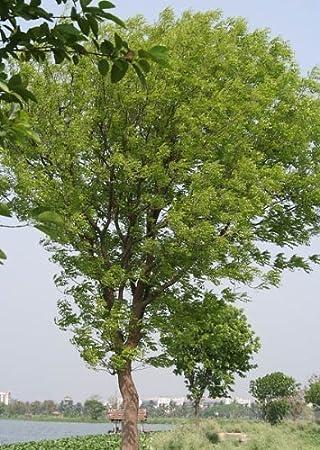 Mahagonibäume  Echter Mahagoni-Baum 10 Samen -liefert das wertvolle Handelsholz ...