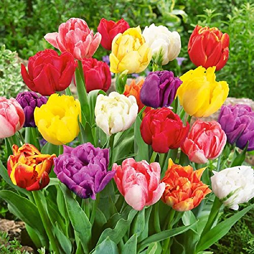 45 Pre-Chilled Double Early (Peony Flowering) Mixed Tulip Bulbs - Ready to Bloom!