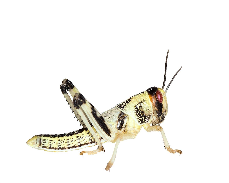Heuschrecken 50 mittel Wüstenheuschrecken Futterinsekten Reptilienfutter Feeders & more