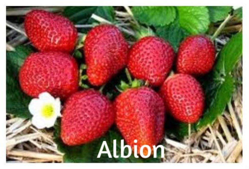 blunekorn Strawberry Mix 750 Seeds