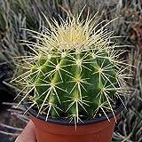 Echinocactus grusonii Cactus Cacti Succulent Real Live Plant