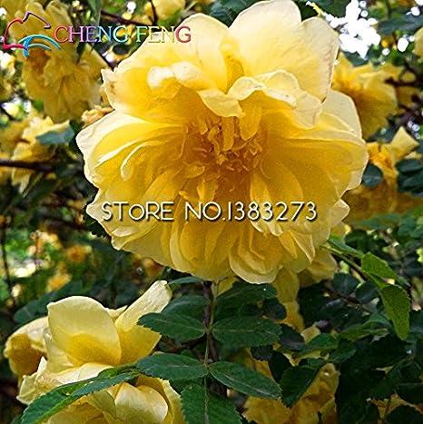 Inicio de las rosáceas Rosa xanthina Semillas Semillas 100 piezas Planta Ornamental Manchú Rose paisaje de jardín Bonsai semillas de flor rara del reloj: ...