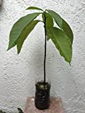 1 AVOCADO TREE PLANT ORGANIC PLUS