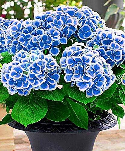 Sump 10 Semillas Nuevas Piezas De Flor De La Azalea Para El Azul Del Cielo Hermosa Jardineria Amazon Es Jardin