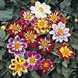 30+ Dahlia Collarette Dandy Bi-Color Mix/Annual Flower Seeds