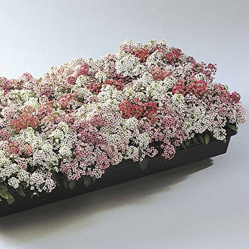 alyssum-easter-bonnet-seeds-color-pastel-mix-approx-1000-multi-seed-pellets-annual-flower-garden-lob