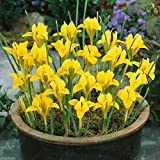 Dwarf Iris danfordiae Bulbs,Bloom Spring, Perennial,Fall Bulb, Now shipping !