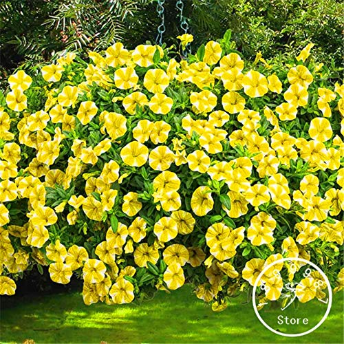 Seed 100 Pcs A Pack Loss Petunia Flower Bonsai Sowing Summer and Autumn Seasons Indoor Potted Balcony | Easy to Pl