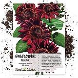Seed Needs, Red Sun Sunflower (Helianthus annuus) 120 Seeds