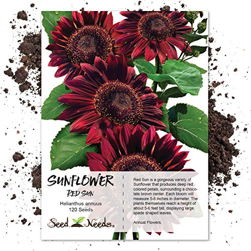 Seed Needs, Red Sun Sunflower (Helianthus annuus) 120 Seeds