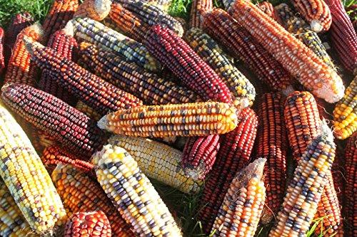 indian corn ear - 2