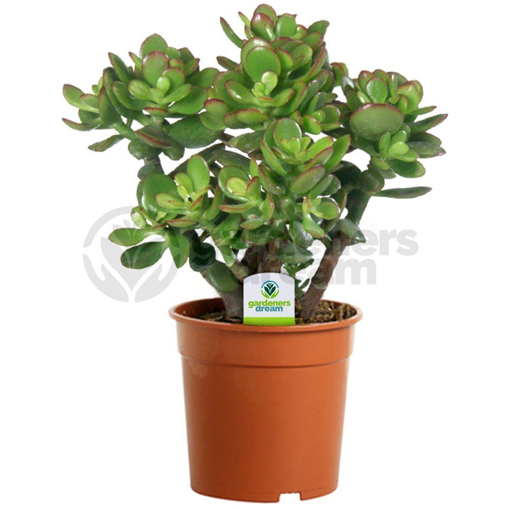 Crassula Ovata - 1 Plant - House / Office Live Indoor Pot Money Penny Tree In 12cm Pot GardenersDream