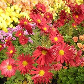 Lichtnelke Herbstchrysantheme Dendranthema Rubellum Duchess Of