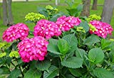 Glowing Embers Pink Mophead Hydrangea - Live Plant - Quart Pot