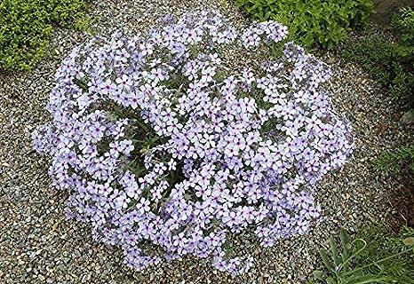 Amazon Com 35 Seeds Of Phlox Divaricata Wild Blue Phlox