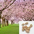 10 pieces sakura seeds DIY home garden bonsai flower seed Japanese oriental cherry seed -Pier 27