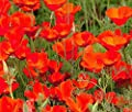 California Poppy Seeds, Red Chief - 0.5 Oz, 9,000 Seeds