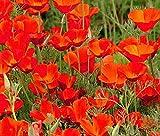 California Poppy Seeds, Red Chief - 0.5 Oz, 9,000 Seeds