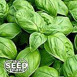 Large Leaf Italian Basil Seeds - 1000 NON-GMO SEEDS