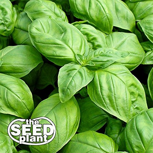 Large Leaf Italian Basil Seeds - 1000 NON-GMO SEEDS The Seed Plant