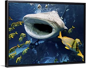 "Whale Shark in Captivity Black Floating Frame Canvas Art, 42""x32""x1.75"""