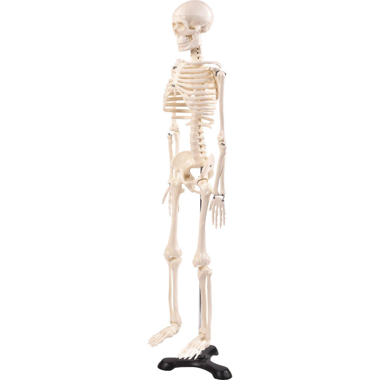 Groß Menschliches Skelett Anatomie Modell Galerie - Anatomie Ideen ...