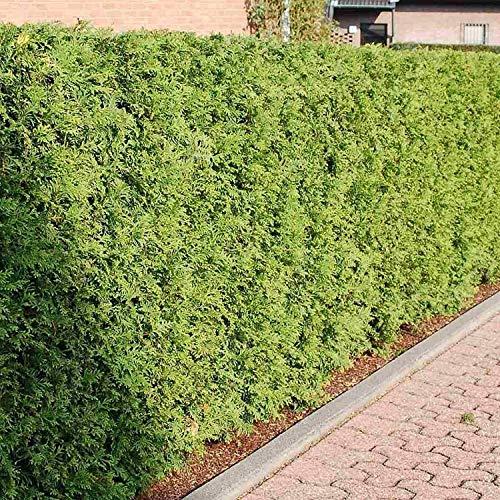 Northern White Cedar - ANVIN Germination Seeds:Northern White Cedar Thuja Occiis - 50 Seeds