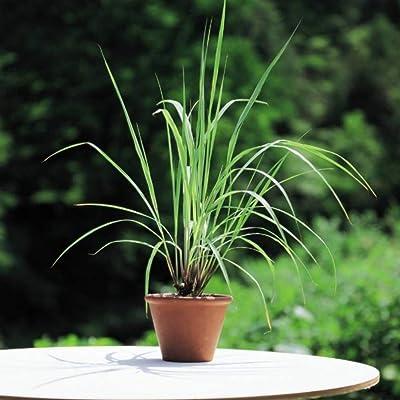 500PCS Lemon Grass Seeds, Organic Lemongrass Plants Seeds Mosquito Repellent Plant : Garden & Outdoor
