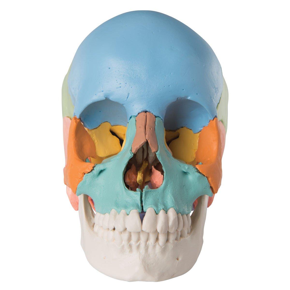 3B Scientific Menschliche Anatomie - Steckschädelmodell ...
