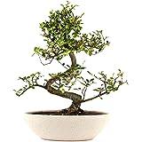 "The Bonsai Plants Carmona Bonsai Live Plant - Perfect Gift And Home Decor"""
