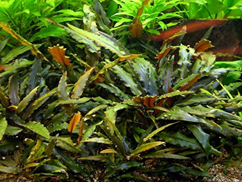 Cryptocoryne Wendtii Pot - AquariumPlantsFactory - Cryptocoryne Wendtii 'Brown' Potted Freshwater Live Aquarium Plants BUY2GET1FREE