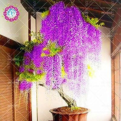 10pcs Japanese wisteria seeds Rare red flower Wisteria Bonsai Seeds Mini Bonsai Tree Indoor Ornamental Plant for home decoration 3 : Garden & Outdoor