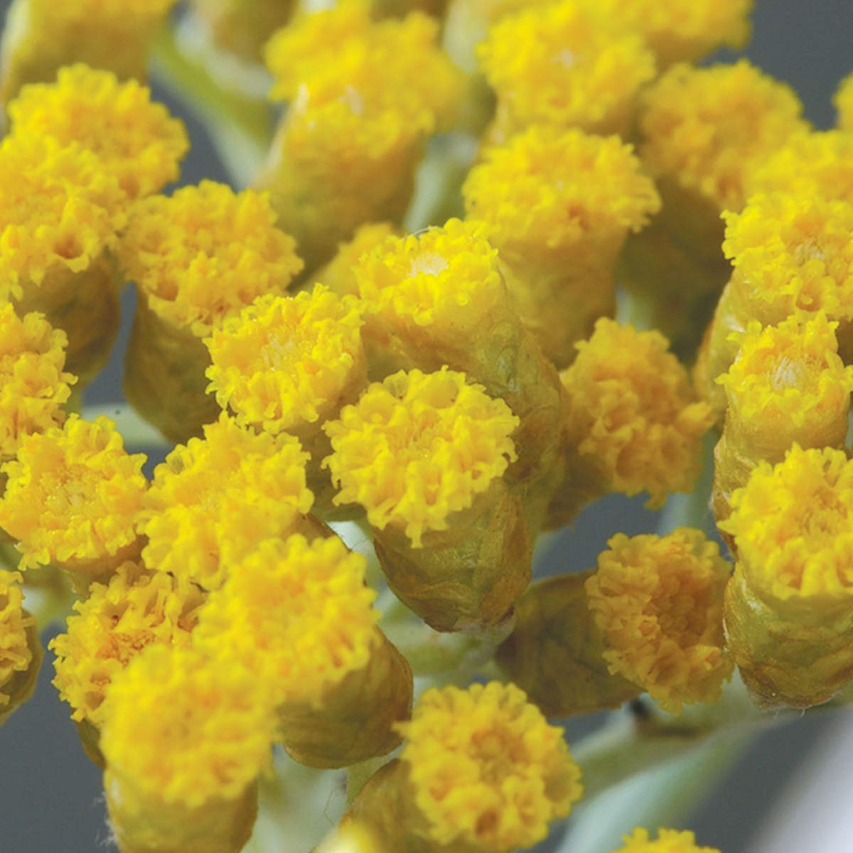 PRANAROM - Certified USDA and ECOCERT Organic Helichrysum (Helichrysum italicum) Essential Oil 15ml