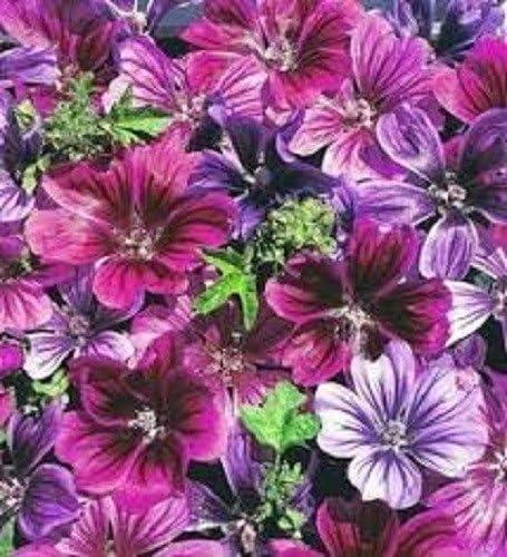 Perennial Malva  Mystic Merlin Mix Flower Seeds 20 Sylvestris