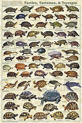 Turtle Terrapin - Turtles, Tortoises, & Terrapin Laminated Educational Science Animal Chart Print Poster 24x36