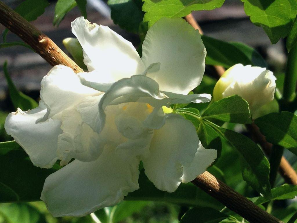 Amazon Florida Gardenia Crepe Crape Jasmine Live Semi Tropical