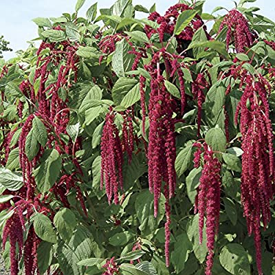 HeirloomSupplySuccess 100 Heirloom Love Lies Bleeding Amaranth Seeds: Everything Else