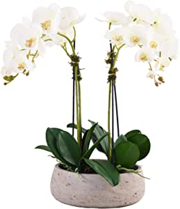 Little Green House Phalaenopsis Orchid Indoor Flowers Pot, White