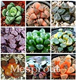 Brand New! Potted Succulents Fleshy Shining Green Plants Haworthia Cooperi Yulu Truncata Flower Seed Lithops Pseudotruncatella seeds 100pcs