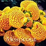 50 Seeds Slipper Flower Calceolaria Herbeohybrida Fascination Flower Seeds Calceolarias Flower 3 #32705492454ST