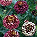50+ Aztec Burgundy Multi-colored Zinnia Seeds - My Secret Gardens