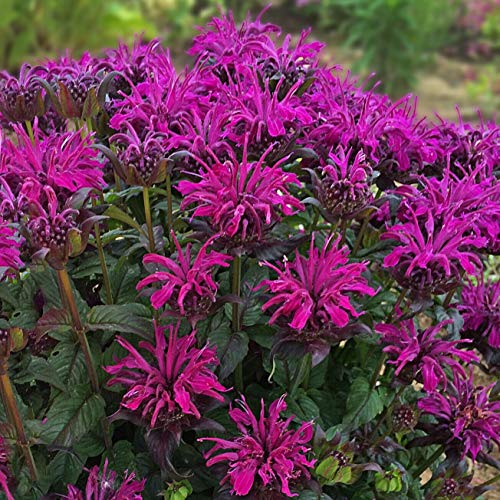 (Details About Sun monarda Rockin Raspberry Sugar bee Balm herb 3