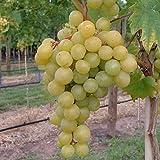Müllers Grüner Garten Shop Frumoasa alba, pilzfeste Weinrebe, helle Weintraube aus Moldawien, 60-90 cm im 9 cm Topf