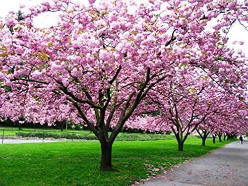 Amazon Com 3 Kwazan Cherry Trees Japanese Flowering Cherry Tree