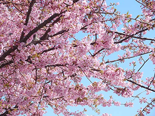 Home Comforts Framed Art for Your Wall Izu Izu Peninsula Cherry Early Spring Pink Kawazu Vivid Imagery 10 x 13 Frame