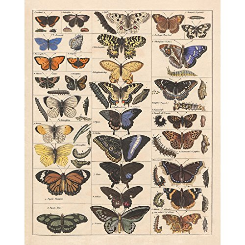 - Meishe Art Poster Print Vintage Butterflies Insects Butterfly Breeds Collection Species Identification Reference Chart Pop Classroom Club Home Wall Decor
