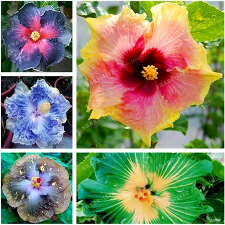 NewHibiscus seeds 14kinds HIBISCUS ROSA-SINENSIS Flower 200+ seeds hibiscus tree seeds - ()