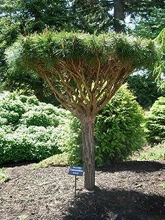 Tanyosho Japanese Red Pine Tree 3   Year Graft