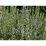 """Clovers Garden Upright Rosemary Plant– Two (2) Live Plants – Not Seeds –Each 4"""" to 7"""" Tall- In 3.5 Inch Pots"""