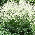 Seeds for Sea Kale or Colewort | Crambe cordifolia | Amkha Seed